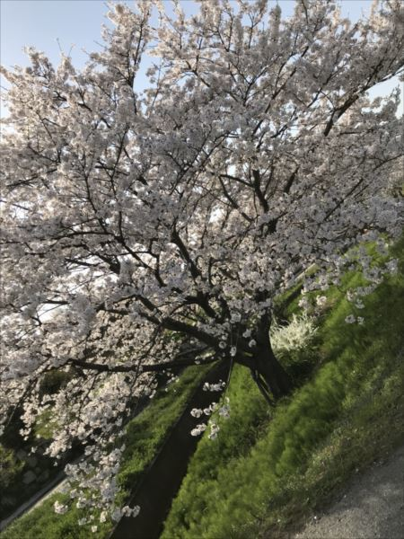2018.04.01桜.jpg