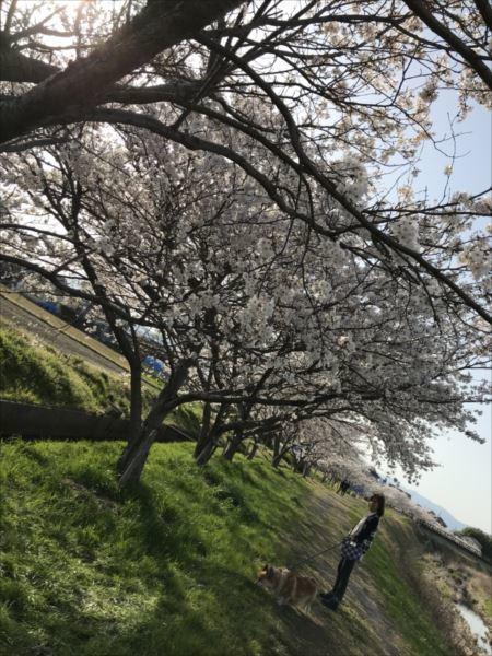 2018.04.01桜4.jpg