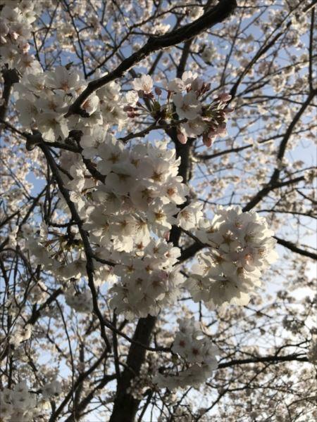 2018.04.01桜6.jpg
