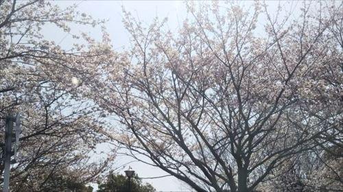 2018桜4.jpg