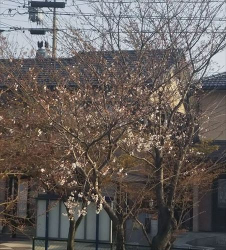 2018桜5.jpg