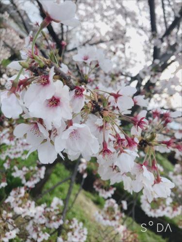 2019-1桜.jpg