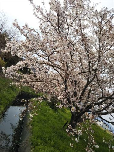 2019-2桜.JPG