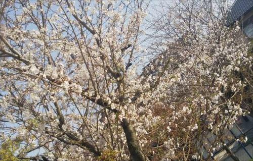 3.29桜.jpg