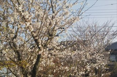 3.29桜2.jpg